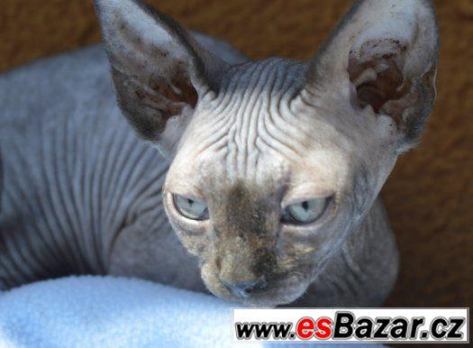 Sphynx kotě - holka s PP k odběru.