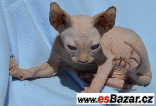 Sphynx kotě s PP,nechovné