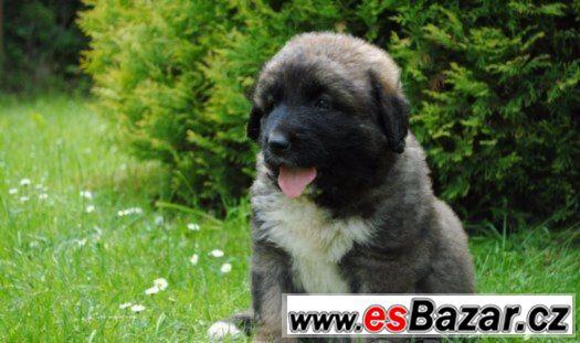 Kavkazský pastevecký pes-štěňata.