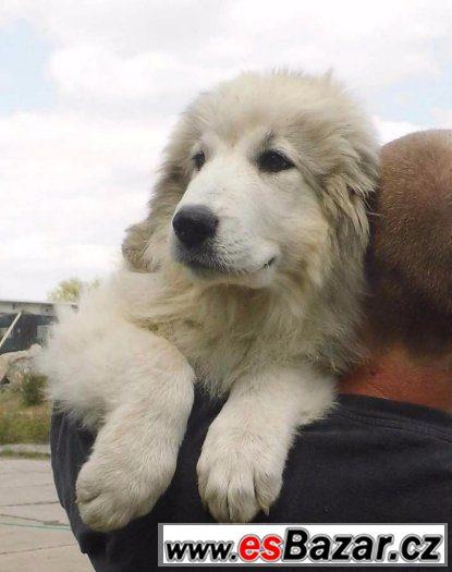 Pyrenejský horský pes štěndo fenka