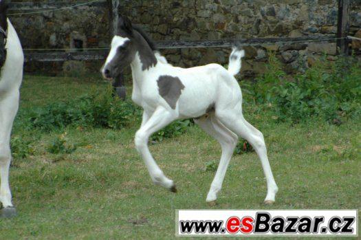 Prodám klisnu paint horse APH
