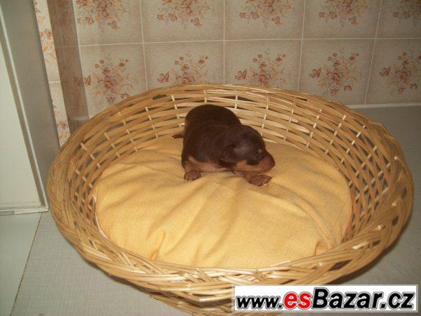 Pražský krysařík - hnědí pejsci