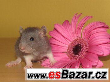 Potkaní mláďata s rodokmenem