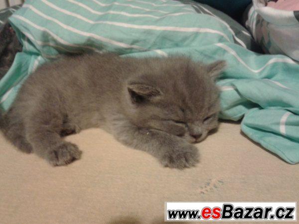 Poslední britská modrá kočička