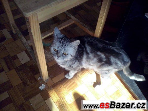 Prodám britskou mramor kočku