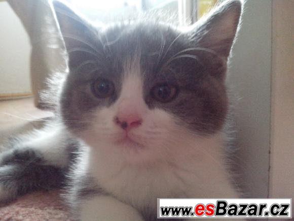 Prodám britská koťátka