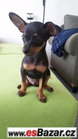 Pražský krysařík štěně