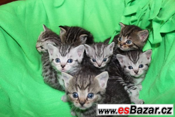 Prodám koťata britské krátkorsté