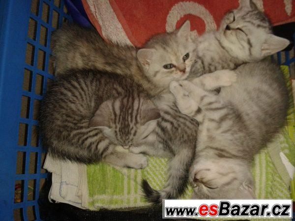 Prodám britské whiskas kotě