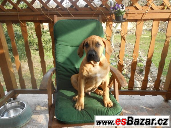 Prodám štěňátka Dogo Canario
