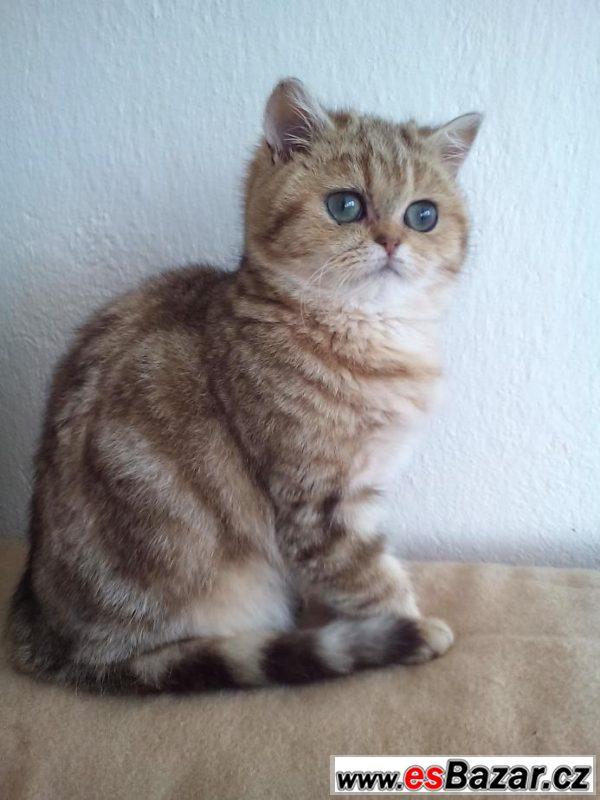 Prodám exotickou kočičku