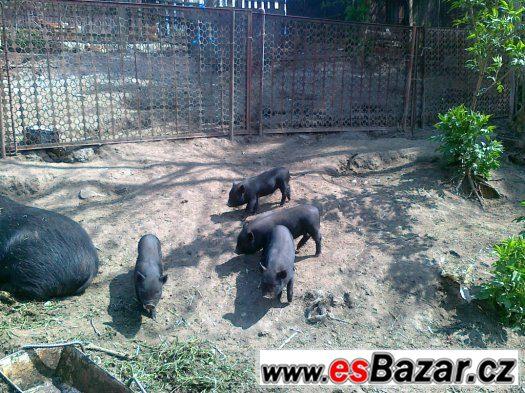 Prodám pětiměsíční vietnamské svině a kanečka
