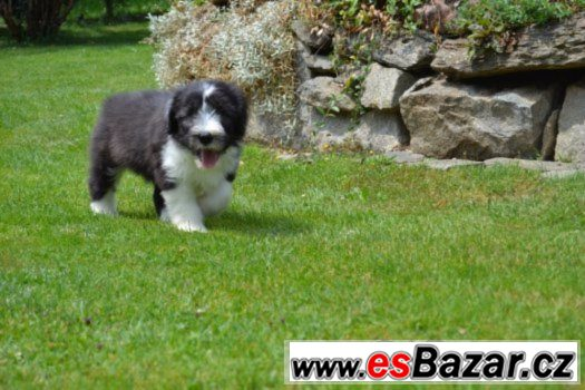 Bearded collie s PP
