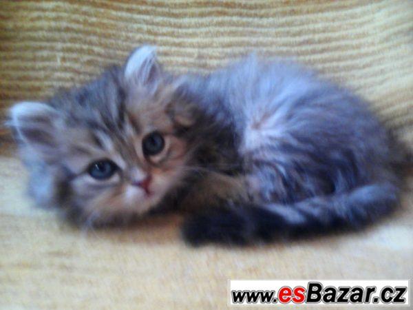 Perský kocourek
