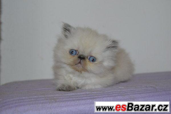 Perská bílá kočika