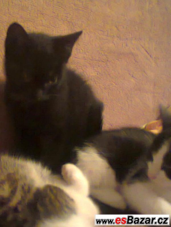 Pěkná koťata britské kočky