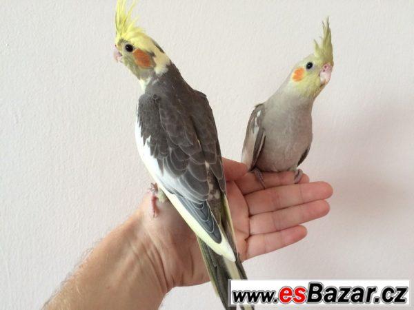 Papoušci: mláďata korely