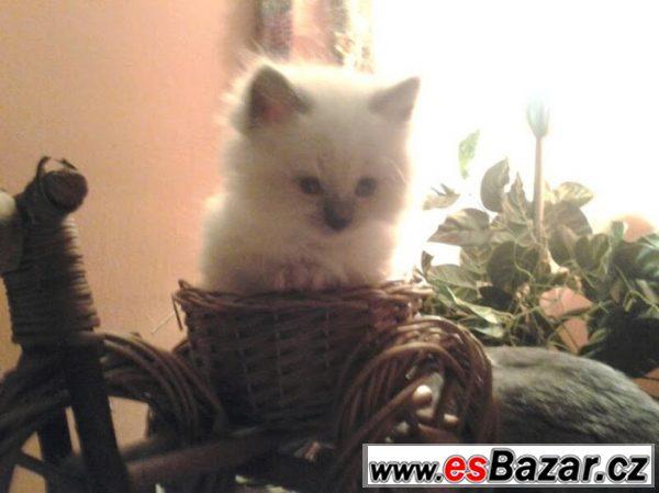 Něvská maškaráda nejmilejší koťátka