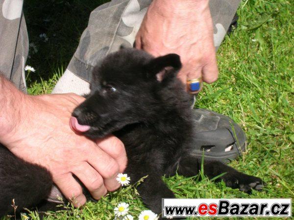 Německý ovčák . prodej štěňat