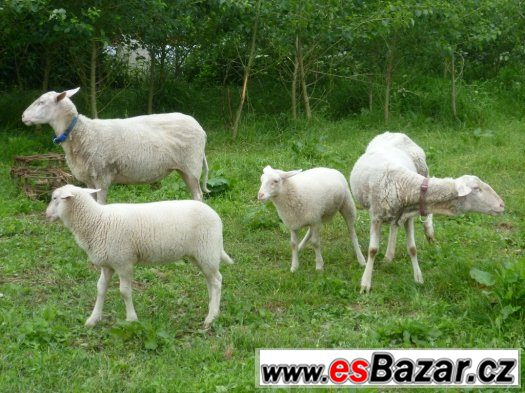 Prodám 2 ovce