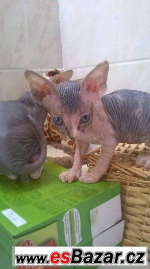 Kočičky sphynx