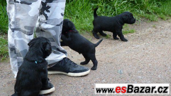Knírač střední černý -