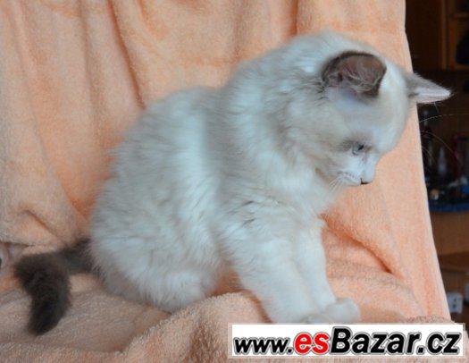 Koťátka Ragdoll s PP
