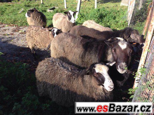 Beránci ovce Romanovské
