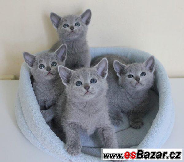 bf41a5044 Prodej koťat - ruská modrá kočka, Praha, sbazar, avízo, bazoš