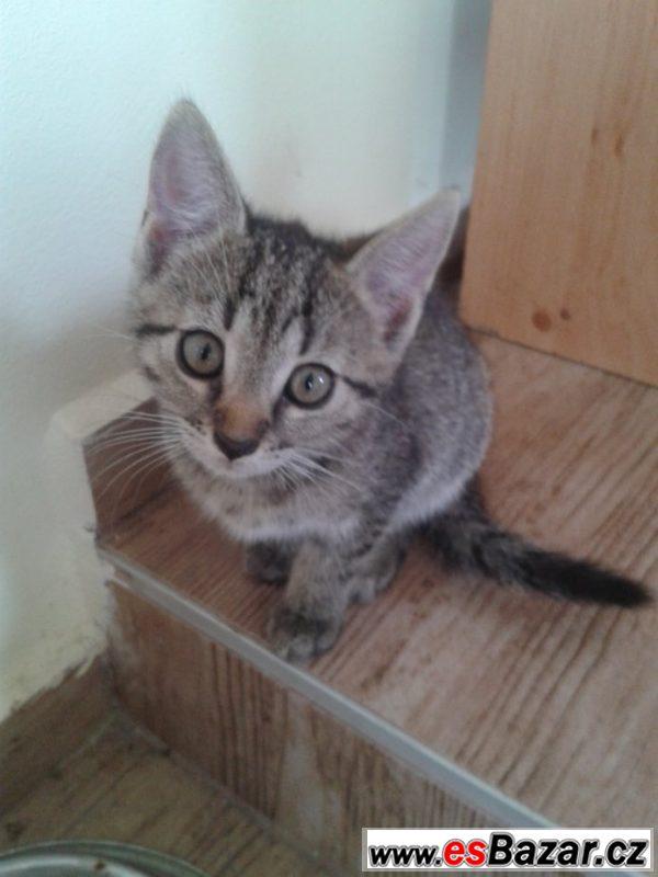 Kočka domácí mourovaná