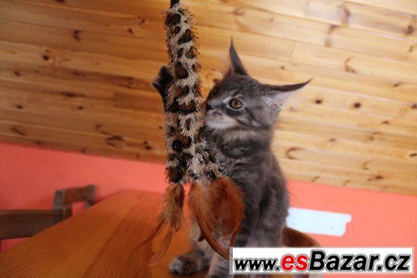 Koťátka mainské mývalí kočky s PP