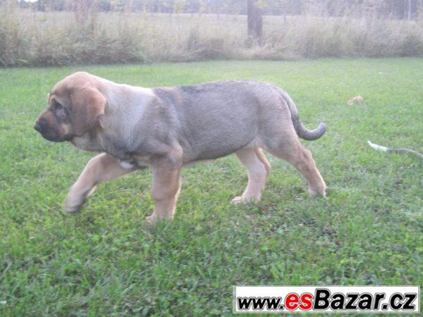 Krásná štěňátka španělského mastina
