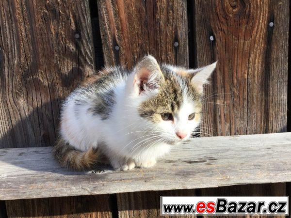 Evropská kočka - koťata