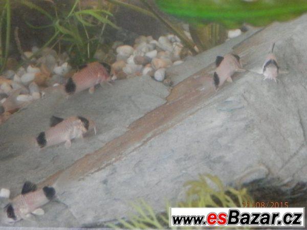 Corydoras fešáček Panda