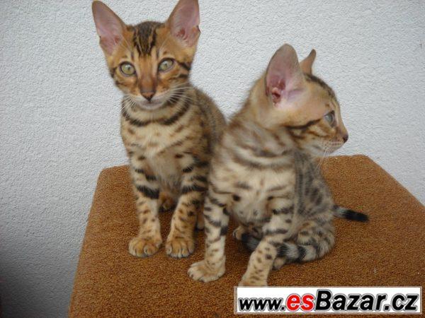 Bengalská koťátka s PP