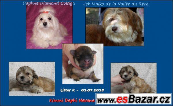 Havanský psík s PP - bišonek - fena