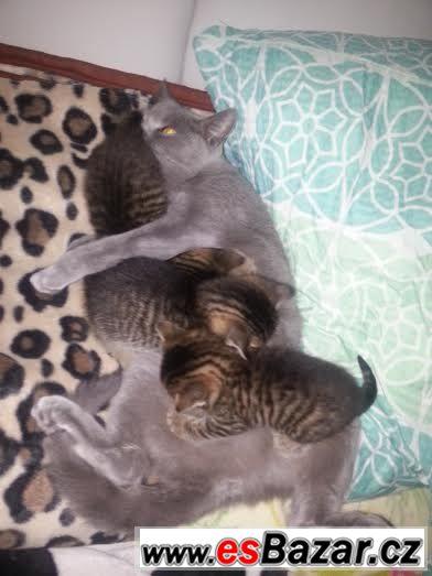 Darujeme koťátka po britské mamince