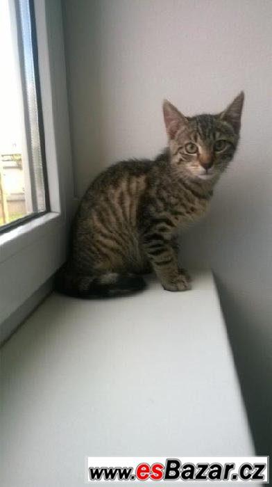 Evropská kočka - kocourek Bako