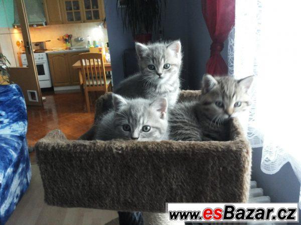 Britská whiskas koťátka,rodiče s PP
