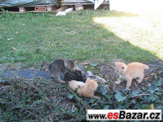 Darujeme 3 koťata kočky domácí