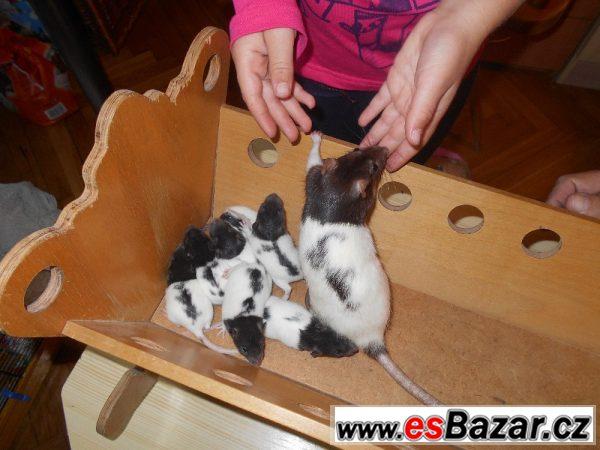 Daruji krásné potkánky