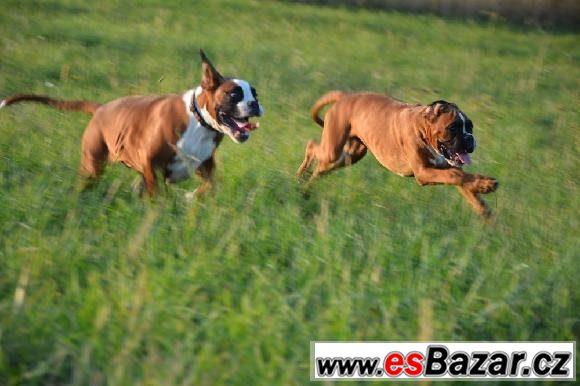 Boxer - zlatí pejsci s PP