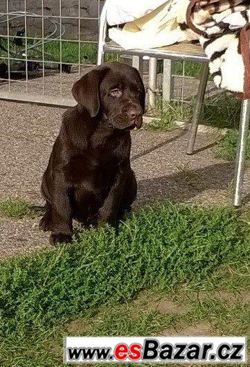 Čokoládový labrador štěňátka s pp