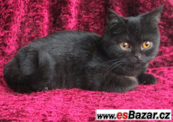 Britská koťata s PP černá