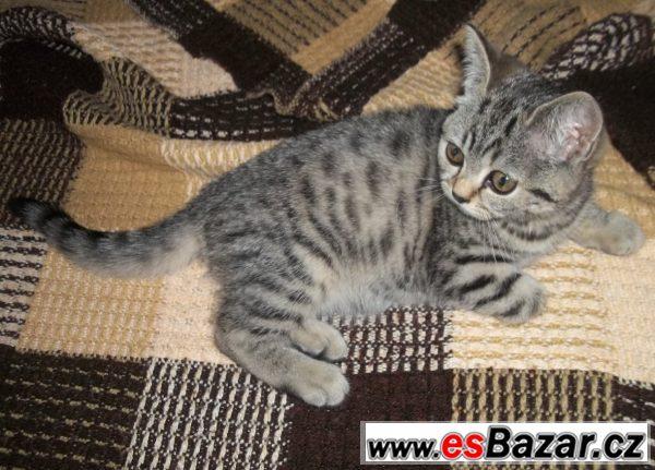 Britská koťata s PP stříbrná, zlatá