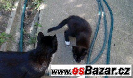 Evropská kočka - koťátka