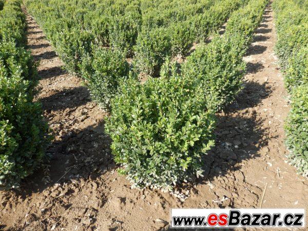 Buxus sempervirens, zimostráz