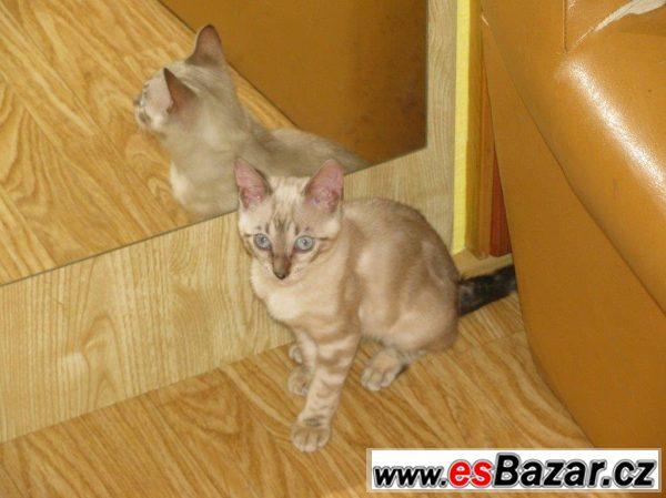 Bengálská kočička