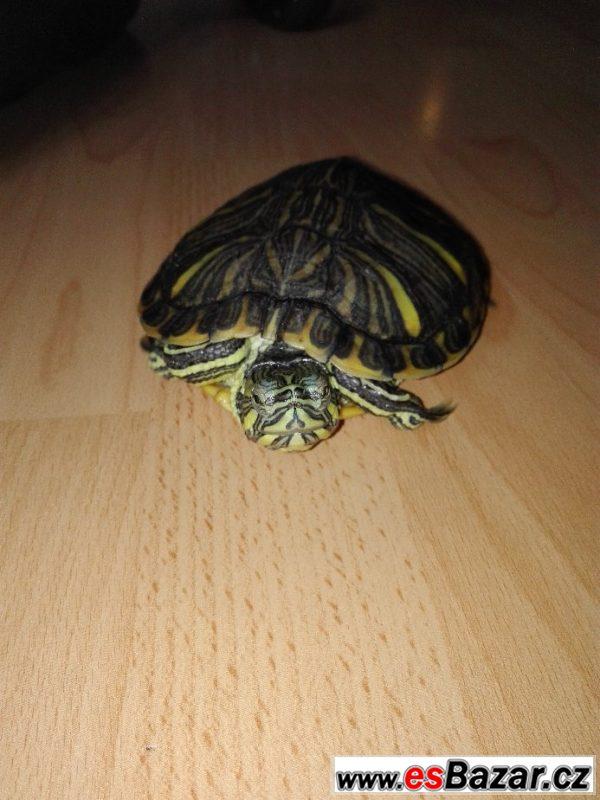 Daruji vodní želvu nádhernou