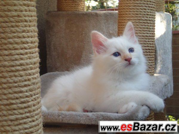 Birma - koťátka s PP